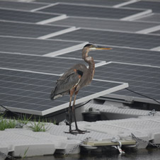 "A great blue heron stands next to a floating array of solar panels, or ""floatovoltaics."" Such installations have the potential to serve both wildlife and clean energy needs. (Rebecca R. Hernandez/UC Davis)"